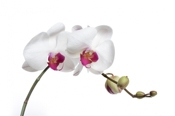 100827744orchid